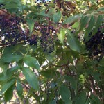 Clusters of ripe elderberries