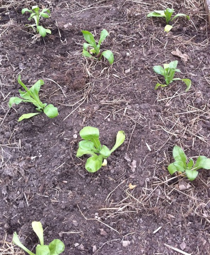 Calendula seedling spacing.