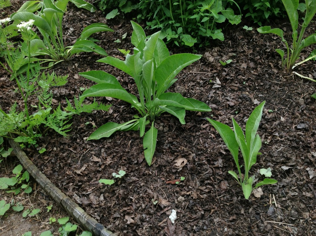 Transplanted plant that re-seeded elsewhere in the garden.
