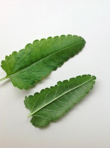 Front and underside of wood betony leaf