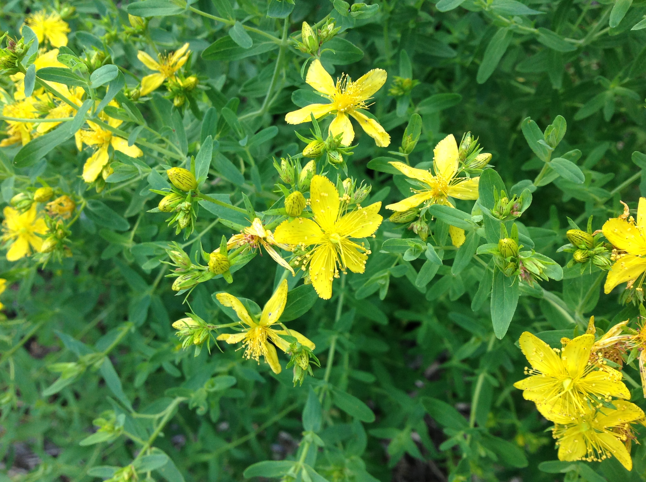 St. Johns wort perforated