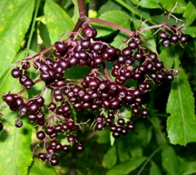 Ripe elderberry cluster - the flower umble gone to berry!