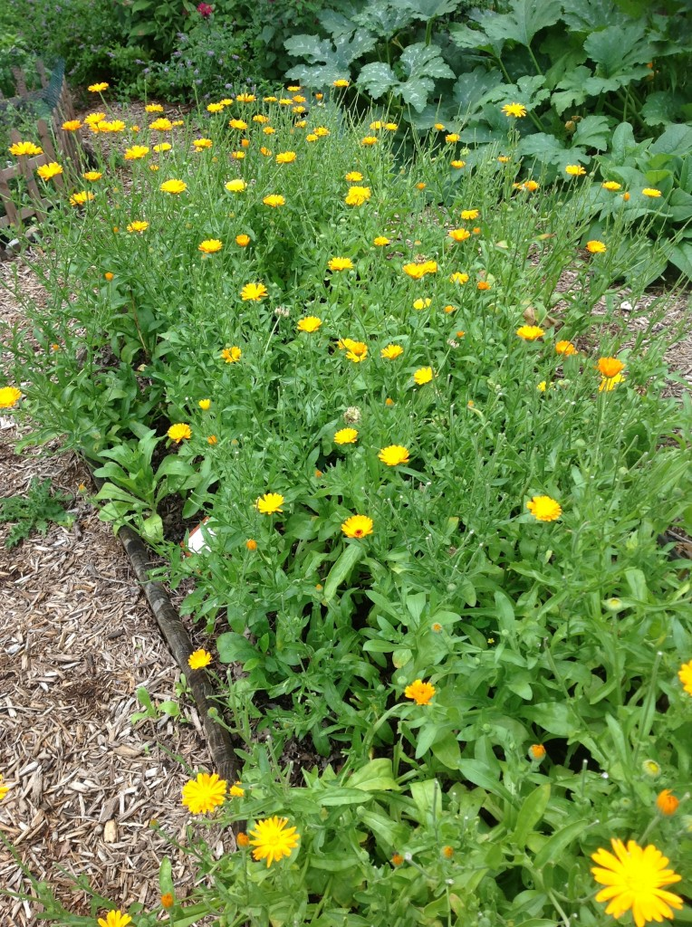The same bed of Calendula plants featured earlier that demonstrated spacing between plants.