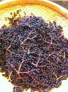 Elderberries clipped from the Elder and dropped into a harvest basket.