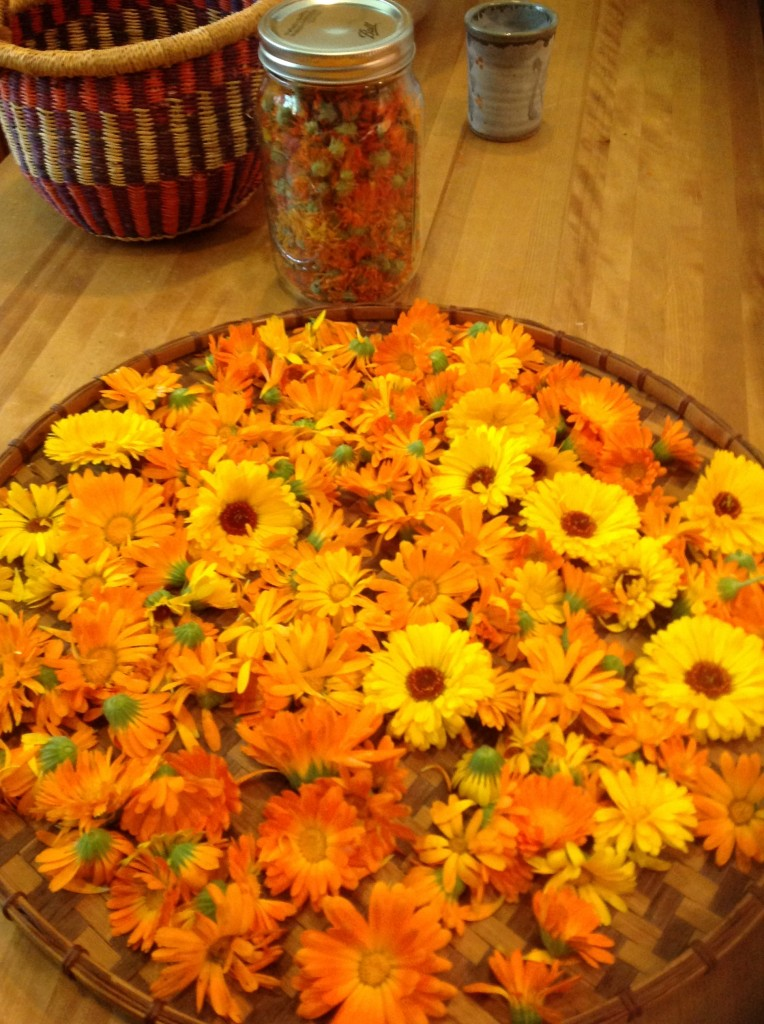 Freshly harvested Calendula flowers ready to spread out and dry