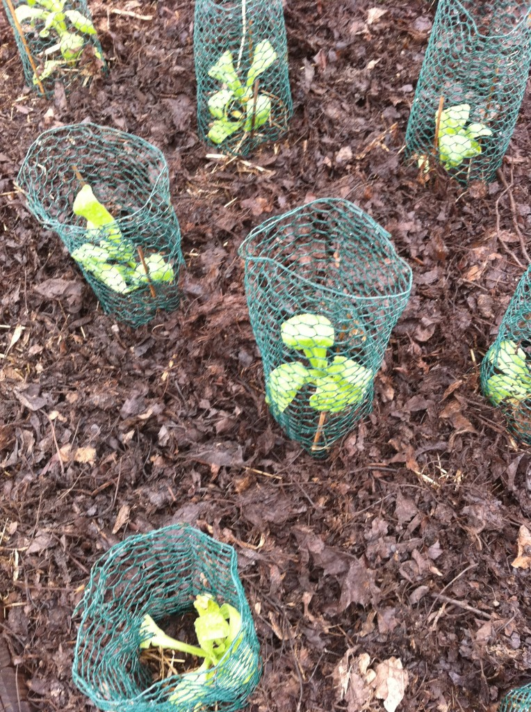 A sampling of young seedlings protected with a chicken wire enclosure.