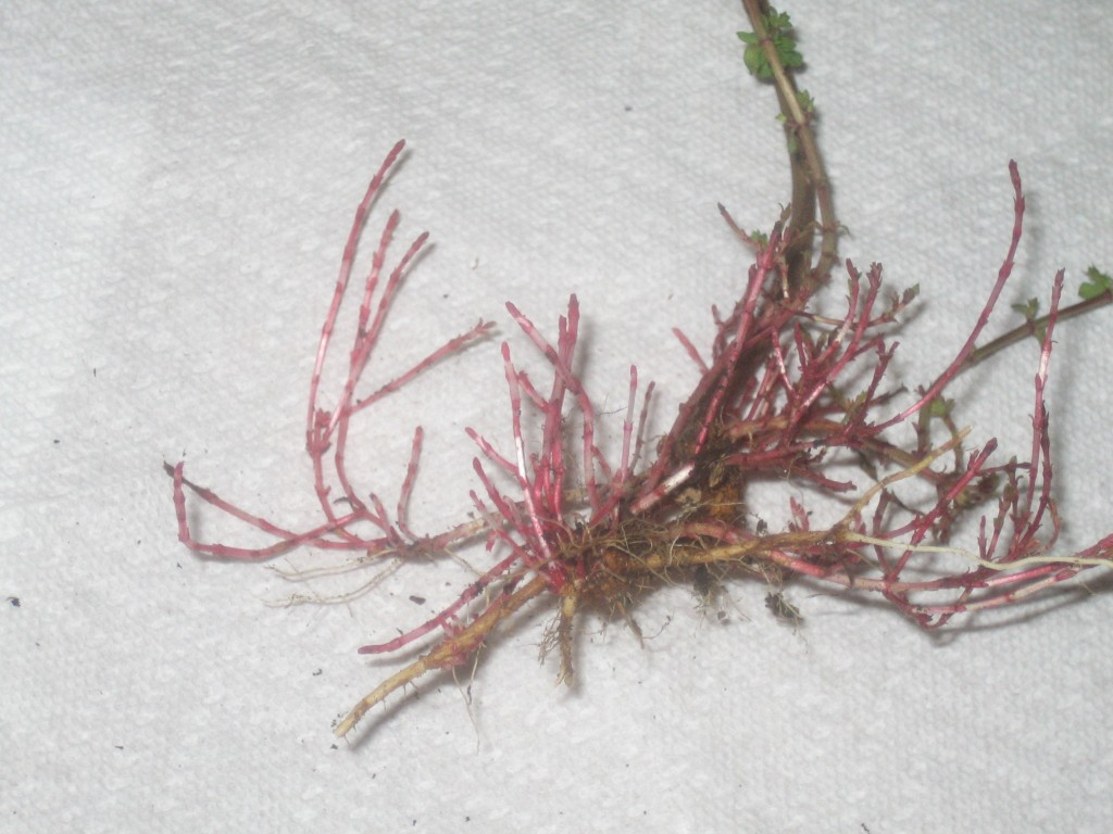 St. Johnswort Roots! note joints