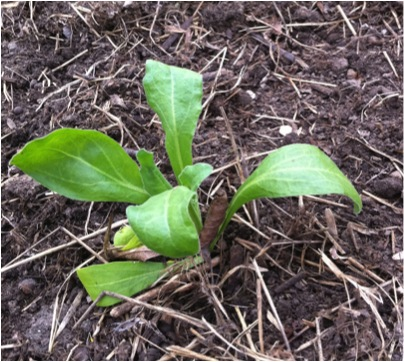 Calendula seedling started indoors and transplanted to the garden.